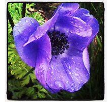 Purple Rain #1; Anemone coronaria, La Mirada,  CA USA Photographic Print