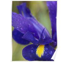 Rain drenched Iris, La Mirada Villages, La Mirada, CA USA Poster
