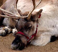 Reindeer waiting for Santa, Happy waiting by loiteke