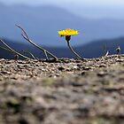 Dandelion on Buffalo by D-GaP
