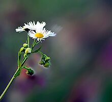 Daisy Fleabane by sundawg7