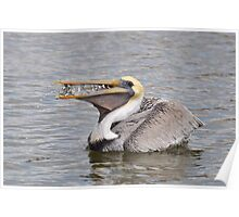 Pelican with a Mouth Full of SMALL FISH Poster