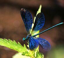 Beautiful demoiselle by turniptowers