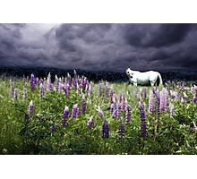 White Horse in a Lupine Storm Photographic Print