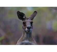Grey Kangaroo Photographic Print