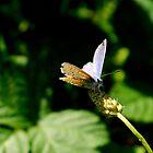 Butterfly by WillBov