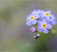 Forget Me Not by Jane Dibnah