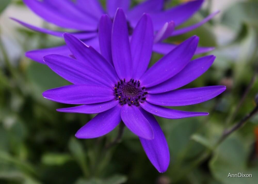 Purple Daisies by AnnDixon