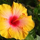 Hibiscus sinensis by Maria1606