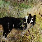 The Collie Dog. by Forfarlass