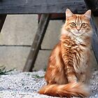 My Little Orange Tabby by DebbieCHayes