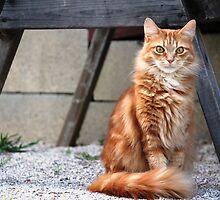 My Little Orange Tabby by DebbieCHayes