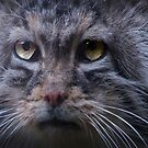 Manul – the Cat that Time Forgot by John44