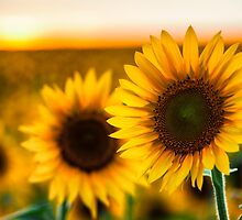 Sunflower Field by KellyHeaton
