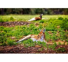 Just Chillin, Yanchep National Park Photographic Print