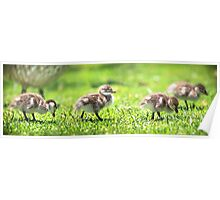 Rogue Duckling, Yanchep National Park Poster