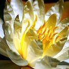 White waterlily (Nymphaea odorata rosea) by loiteke