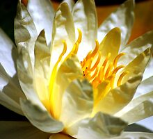 White waterlily (Nymphaea odorata rosea) by loiteke