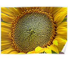 Sunflower - Up Close Poster