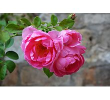 Group of pink roses Photographic Print