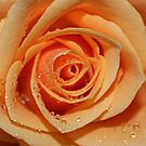 Orange Rose with Tear Drops by AnnDixon