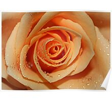 Orange Rose with Tear Drops Poster