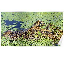 Baby gator in camouflage Poster