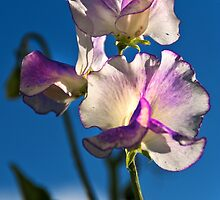 Sweet Pea by Country  Pursuits