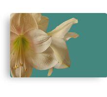 Amaryllis flower white turquoise  Canvas Print