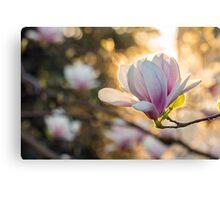 magnolia flowers on a blury backlit background Canvas Print