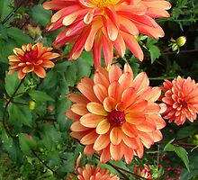 Group of Peach-colored Dahlias by Mary Ellen Tuite Photography
