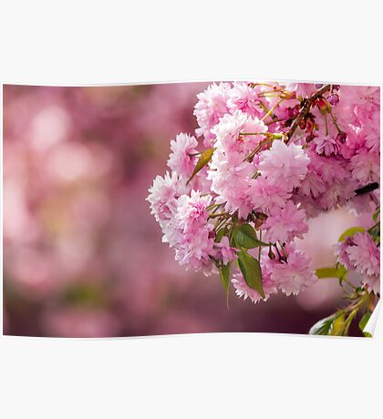 pink flowers of sakura branches above grass Poster