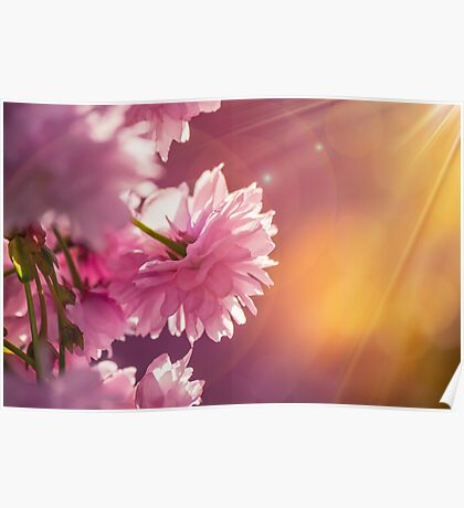 pink flowers of sakura branches on blury background Poster