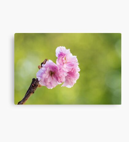 pink blossomed sakura flowers Canvas Print
