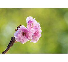 pink blossomed sakura flowers Photographic Print