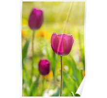 purple tulip on color blurred background  Poster