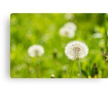 white dandelion on green grass blur background Canvas Print