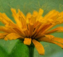 Zinnia Gold by JohnDSmith