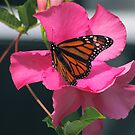 Monarch in Mandevilla by autumnwind
