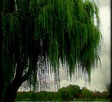 My beautiful weeping willow © by Dawn M. Becker