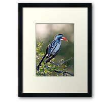Red Billed Hornbill Framed Print