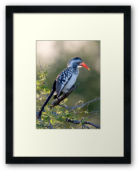 Red Billed Hornbill by Michael  Moss