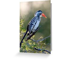Red Billed Hornbill Greeting Card