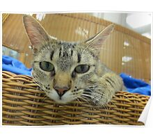 Tabby Cat Waiting for adoption Poster