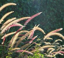 Ornamental Grasses by Chet  King
