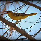 Hooded Oriole (Female) by Kimberly Chadwick