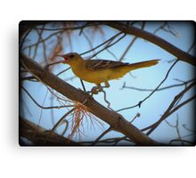 Hooded Oriole (Female) Canvas Print