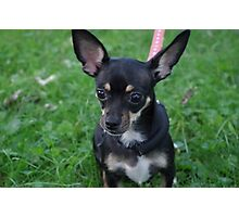 Adorable chihuahua puppy Photographic Print