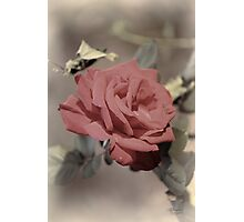 Pale Rose Photographic Print