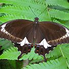 Orchard Swallowtail by Penny Smith